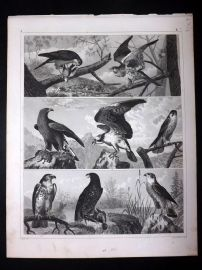 Heck 1849 Antique Bird Print. Falcon, Vulture, Hawk